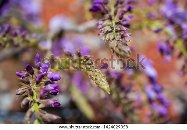 Purple Wisteria Plant Bud Climbing Wall Stock Photo Edit Now
