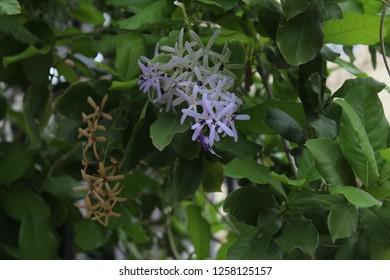 Purple wreath or Queen's wreath (Petrea volubilis) in blossom