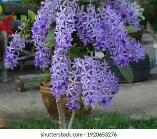 Purple Wreath, Queen's Wreath, Sandpaper Vine, Petrea volubilis flower beautiful bunch bouquet blooming in garden