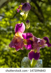 Purple and yellow bearded iris flower in bloom on dark green blurred bokeh background in backlight