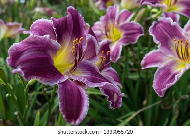 Purple and yellow daylily close-up