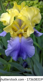 Purple and yellow Iris, newly blossomed in the Spring