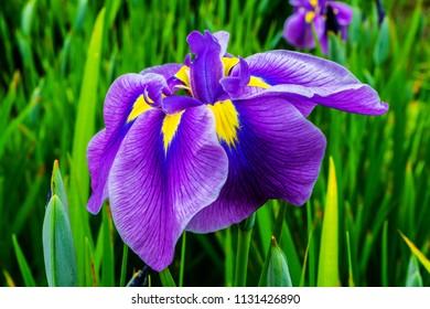 Purple Yellow Large Japanese Iris Iris Ensata Green Leaves Close Up