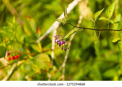 purple and yellow nightshade blooms hanging from green vine