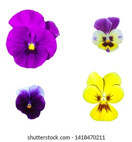 Purple and yellow Pansies flowers isolated on white background. Colorful Viola tricolor collection blooming icon