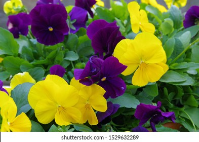 Purple and Yellow Pansy Flowers closeup view