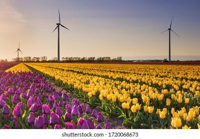 purple and yellow tulips and wind turbinesat sunset, Netherlands