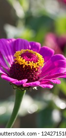 Purple Zinnia Blossom With Gold Stamens