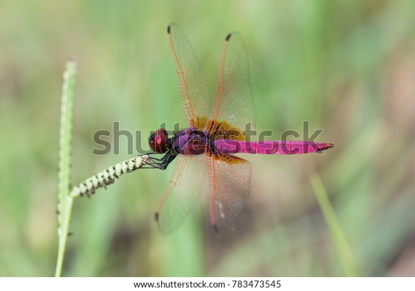 Purple-and-pink dragonfly perched