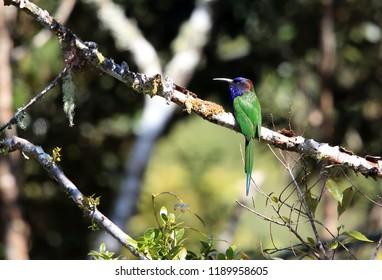 Purple-bearded bee-eater or Celebes bee-eater (Meropogon forsteni) in Lore Lindu National Park, Sulawesi Island, Indonesia