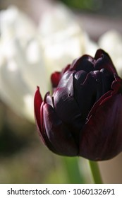 purple-black tulip in spring