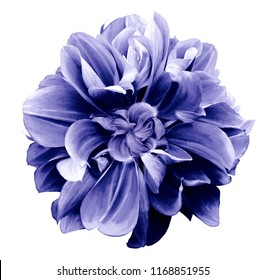Purple-blue  dahlia. Flower on a white  isolated background with clipping path.  For design.  Closeup.  Nature.