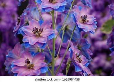 Purple-blue delphinium flowers with a soft focus background