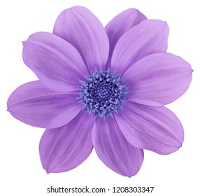 Purple-blue flower dahlia isolated on white background. For design. Closeup. Nature.