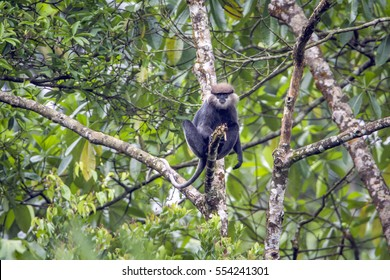 Purpled-faced langur in Sinharaja forest reserve, Sri Lanka ; Specie rachypithecus vetulus family of Cercopithecidae