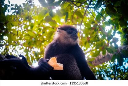 Purple-faced langur monkey on the tree vivid image