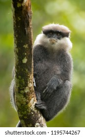 Purple-faced langur (Semnopithecus vetulus) also known as the purple-faced leaf monkey, is a species of Old World monkey that is endemic to Sri Lanka.