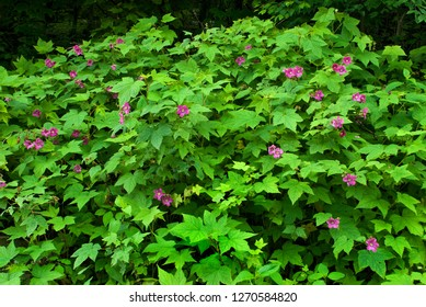 Purple-flowering raspberry (Rubus odoratus) at forest edge in Shenandoah National Park, Virginia.