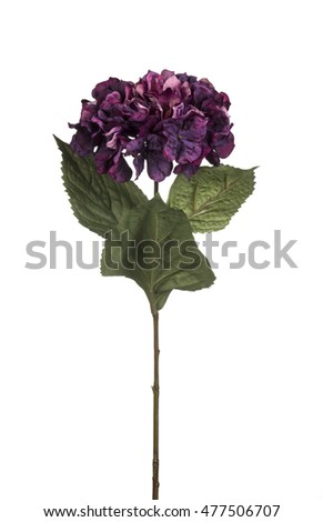 Purplel Color Hortensia Isolated On White Stock Photo Edit Now - Color-hortensia