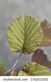 Purple-leaved filbert leaves - Latin name - Corylus maxima Purpurea