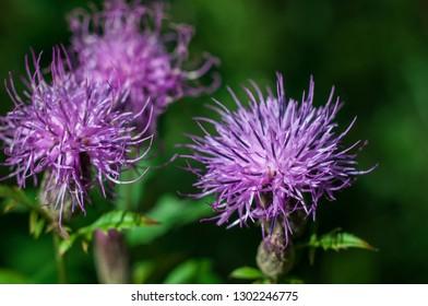 Purple-pink flowers of Greater Knapweed (Centaurea scabiosa, brown knapweed, brownray knapweed). Shallow depth of field
