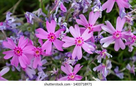 Purple/Pink Moss Phlox - Phlox Subulata 'Marjorie'.
