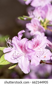 Purple/pink rhododendron flowers with purple background,in park. Spring flowers,spring background/card, Pink rhododendrons with natural pattern in the garden. Copy space. Closeup of flowers background