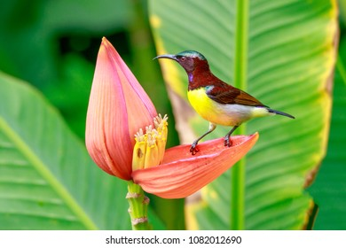 The purple-rumped sunbird (Leptocoma zeylonica) male, sitting on the petals of banana blossom and watching around before drinking nectar. Sunbird on the petals of the Banana flower