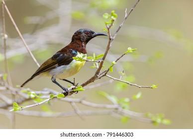 Purple-rumped Sunbird - Leptocoma zeylonica, Sri Lanka