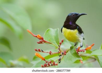 Purple-rumped sunbird in Minneriya national park, Sri Lanka ; specie Leptocoma zeylonica