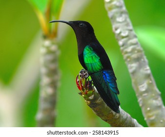 Purple-Throated Carib (Eulampis juglaris) on Frangipani (Plumeria) in Montserrat, West Indies, Caribbean