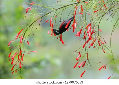 Purple-throated Sunbird (male) with flowers