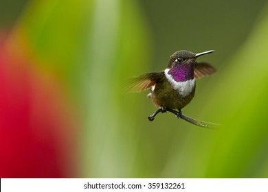 Purple-throated Woodstar, Calliphlox mitchellii hummingbird perched on twig behind blurred green leaves and red flower. Shows its violet glittering throat,white band,outstretched wings. Colombia.