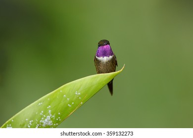 Purple-throated Woodstar, Calliphlox mitchellii hummingbird perched on top of green leaf  in diagonal composition. Front view. Shows its violet glittering throat. Dark green background. Colombia.