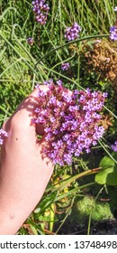 Purpletop vervain (Verbena bonariensis) is a member of the verbena family cultivated as a flowering annual or herbaceous perennial plant.