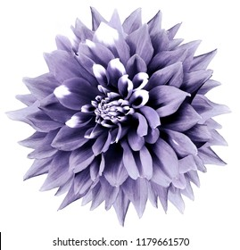 Purple-white flower. White isolated background with clipping path. Nature. Closeup. dahlia.