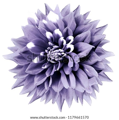 purplewhite flower white isolated background clipping の写真素材