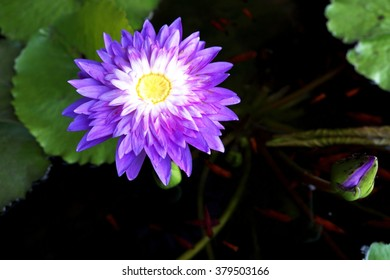 Purple-white lotus and yellow pollen with Guppy fishes in water. Focus on yellow pollen.