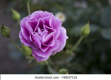 A Purplish Pink Flower in the Garden in Bulgaria