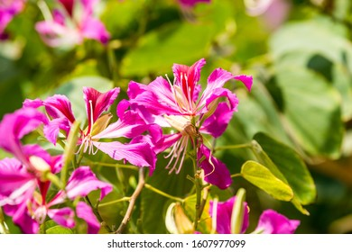 Purplish red flowers of Bauhinia blakeana, commonly called the Hong Kong orchid tree, a legume tree of the genus Bauhinia, with large thick leaves and striking purplish red flowers