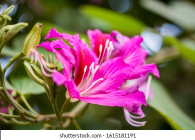 Purplish red flowers of Bauhinia blakeana, commonly called the Hong Kong orchid tree, a legume tree of the genus Bauhinia, with large thick leaves and striking purplish red