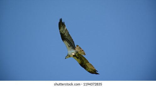 Purposeful osprey soaring across a clear blue sky, grasping a fish within its talons.