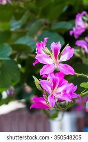 Purpurea flower tree
