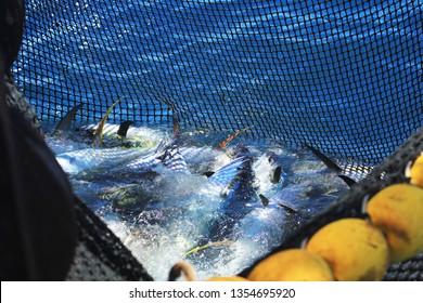 Purse seine full of tunas