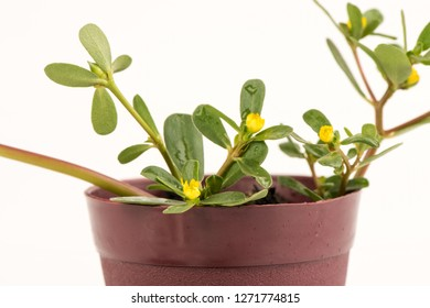Purslane, a branch of the tree with green leaves and flowers have medicinal properties.