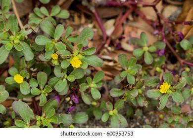 Purslane, Common purslane, Common garden purslane, Pigweed purslane, have medicinal properties