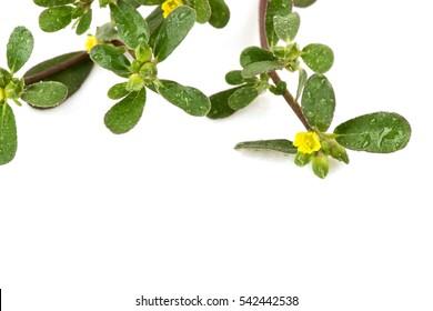 Purslane, Common purslane, Common garden purslane, Pigweed purslane, Phak Bia Yai (Thai name) (Portulaca oleracea L.) has medicinal properties.