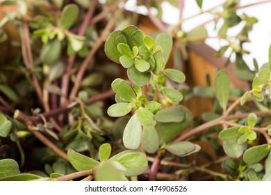 Purslane, Common purslane, Common garden purslane, Pigweed purslane (Portulaca oleracea L.).