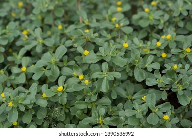 Purslane or Common purslane, green leaves and flowers on natural background