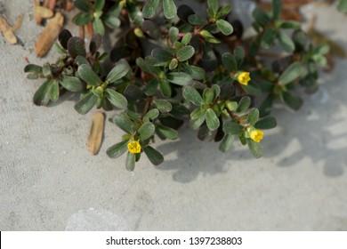 Purslane, Common purslane, green leaves and flowers on nature background.